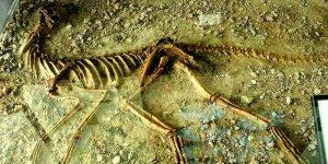 Silesaurus opolensis - szkielet w dinoparku w Krasiejowie (rok 2009)