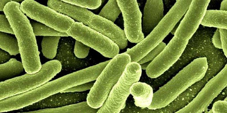 Bakterie - Escherichia coli widziana w mikroskopie elektronowym