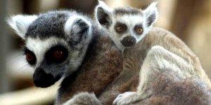 Lemur katta - gatunek ssaka z rodziny lemurowatych (Lemuridae), jedyny przedstawiciel rodzaju Lemur.