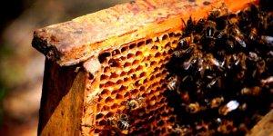 Pszczoły z pasieki Amest w Otwocku