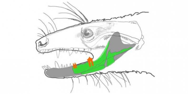Szkic prassaka z Grenlandii